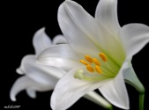 Easter Lily 2013