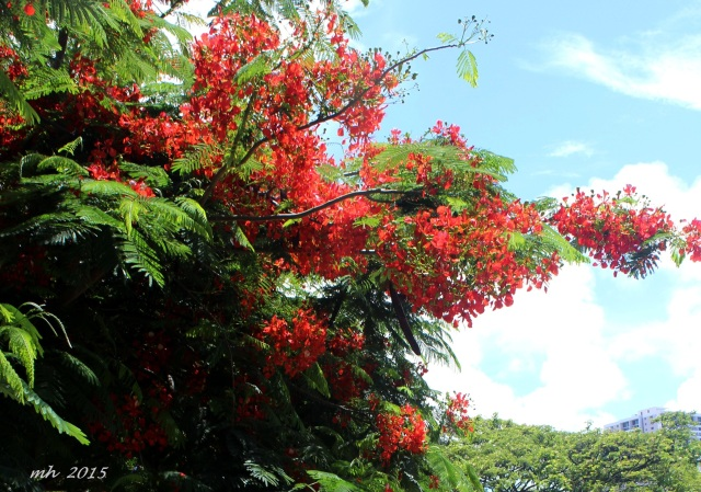 Hoa phuong in hawaii-2015 (3)