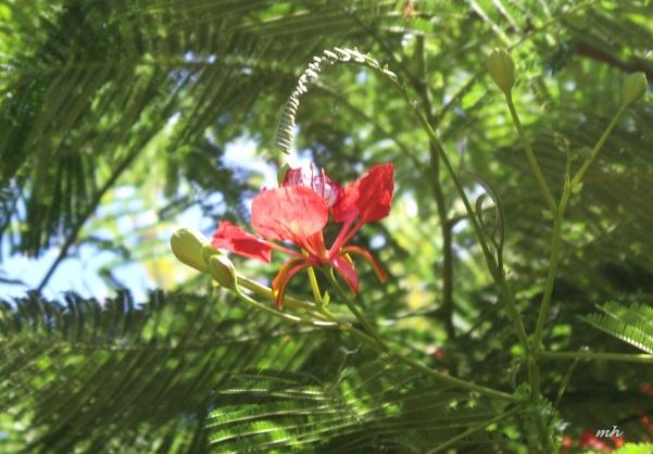 Hoa phuong in hawaii-2015 (4)