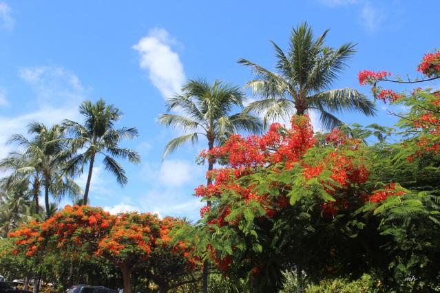 Hoa phuong in hawaii-2015 (5)