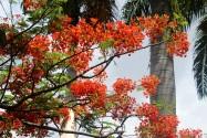 Hoa phuong in hawaii-2015 (6)