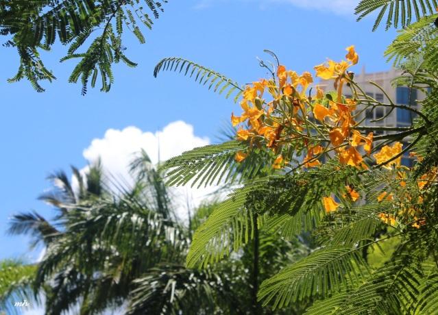 Hoa phuong in hawaii-2015 (7)
