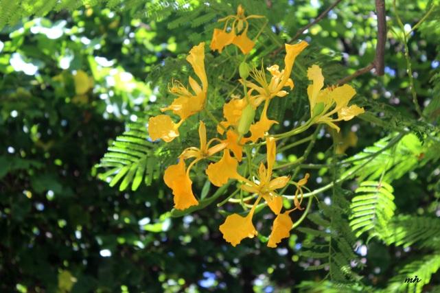 Hoa phuong in hawaii-2015 (8)