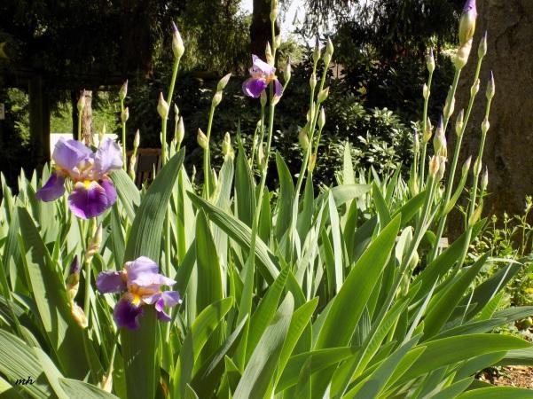 April's Flowers in School Garden (5)