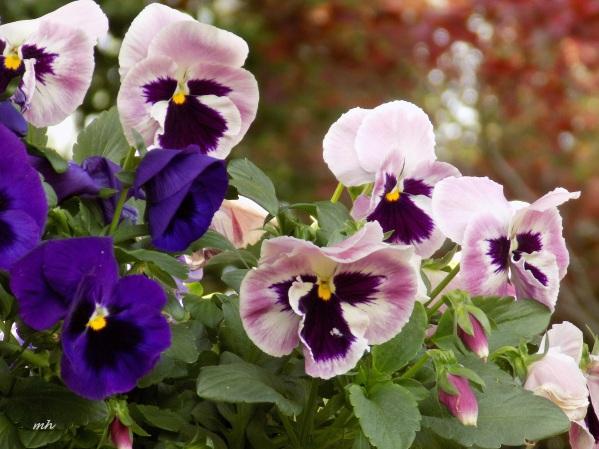 April's Flowers in School Garden (7)