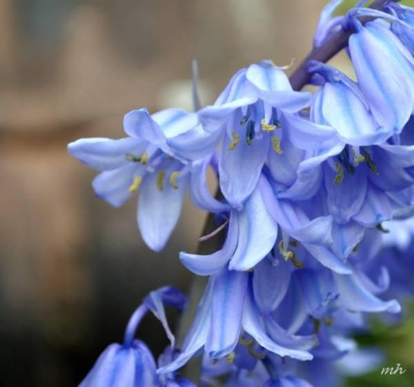 Hoa Chuong xanh 2014 (2)