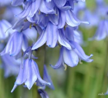 Hoa Chuong xanh 2014 (3)