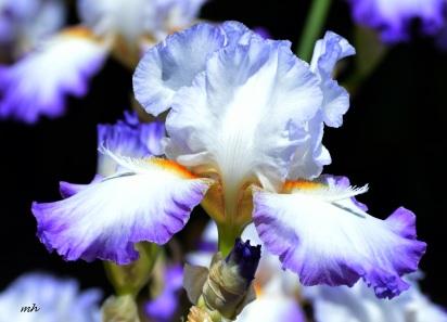 Hoa Dien Vy 2016 (24)