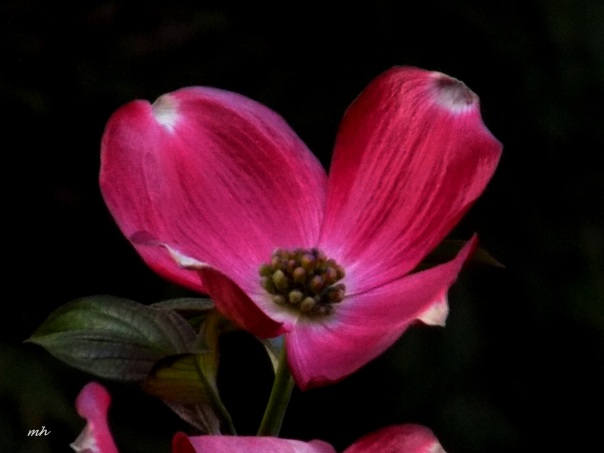 Red Dogwood is a photograph by Mh which was uploaded on April 9 - 2016  (1)