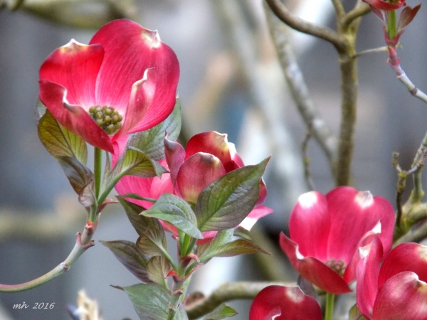 Red Dogwood is a photograph by Mh which was uploaded on April 9 - 2016  (2)