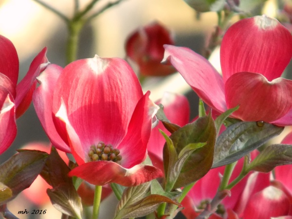 Red Dogwood is a photograph by Mh which was uploaded on April 9 - 2016  (3)