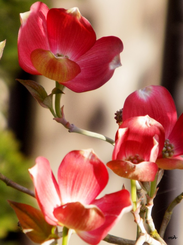 Red Dogwood is a photograph by Mh which was uploaded on April 9 - 2016  (4)