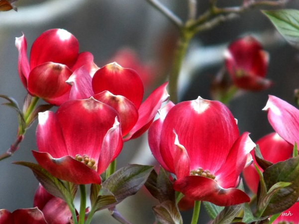 Red Dogwood is a photograph by Mh which was uploaded on April 9 - 2016  (5)