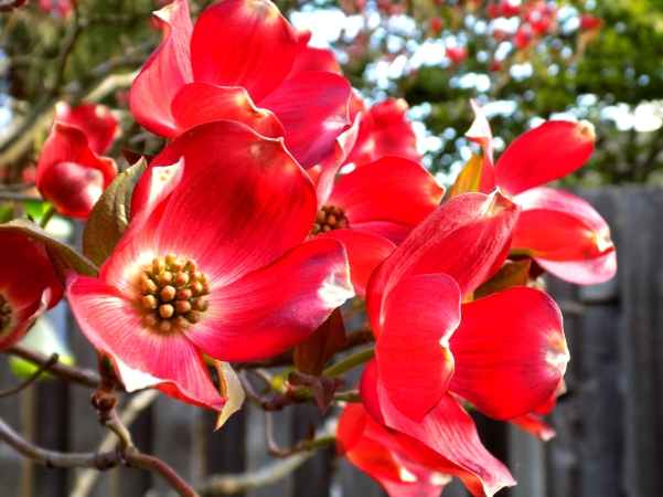 Red Dogwood is a photograph by Mh which was uploaded on April 9 - 2016  (6)