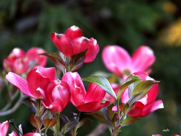 Red Dogwood is a photograph by Mh which was uploaded on April 9 - 2016  (7)