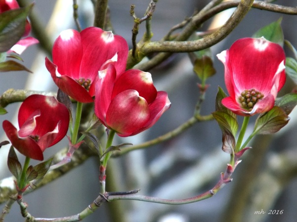 Red Dogwood is a photograph by Mh which was uploaded on April 9 - 2016  (8)