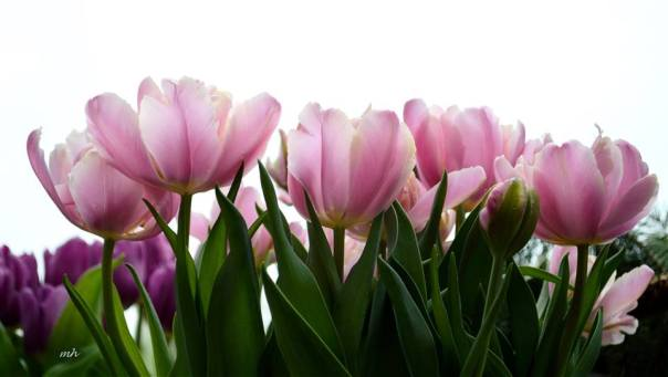 Tulip 2017 - (sm )