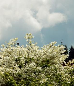 White Dogwood-1