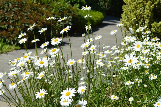 Chrysanthemum 2016 (7)
