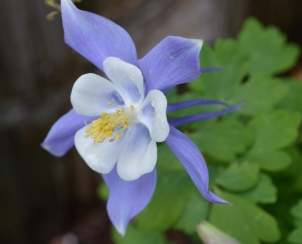 Colorado Blue Columbine -1