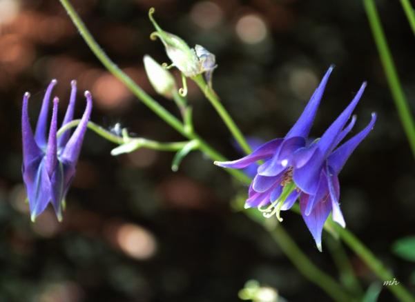Columbine Flowers-3