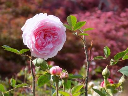 David Austin's English Roses (1)