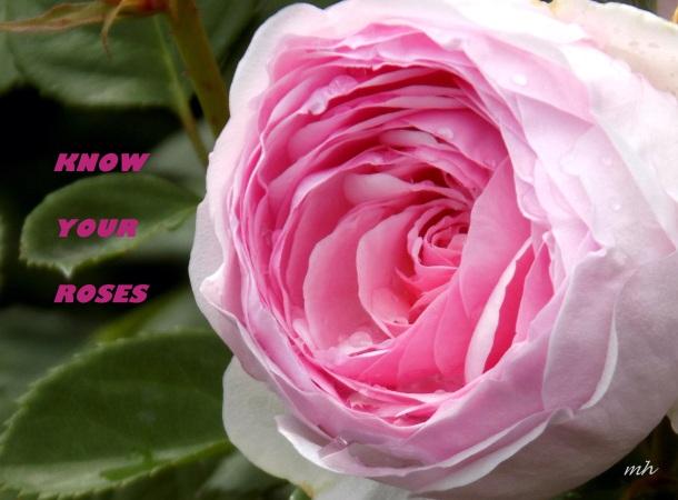 David Austin's English Roses (6)