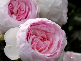 David Austin's English Roses (7)