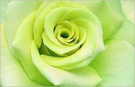green-rose-symbolism