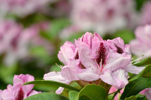 Hoa Đỗ quyên (1)