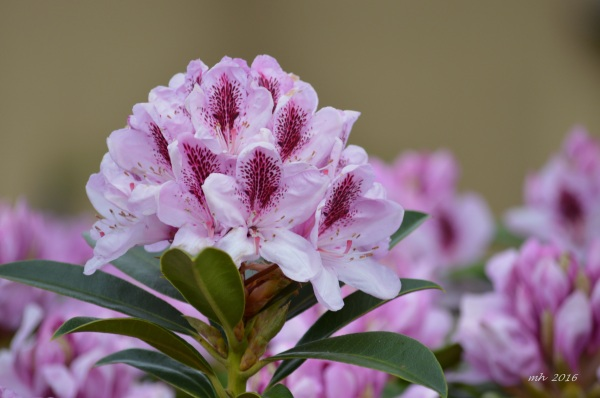 Hoa Đỗ quyên (2)