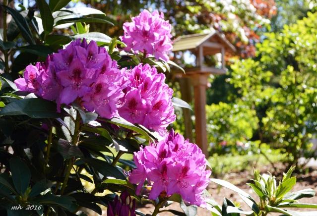 hoa do quyen 2016  (3)