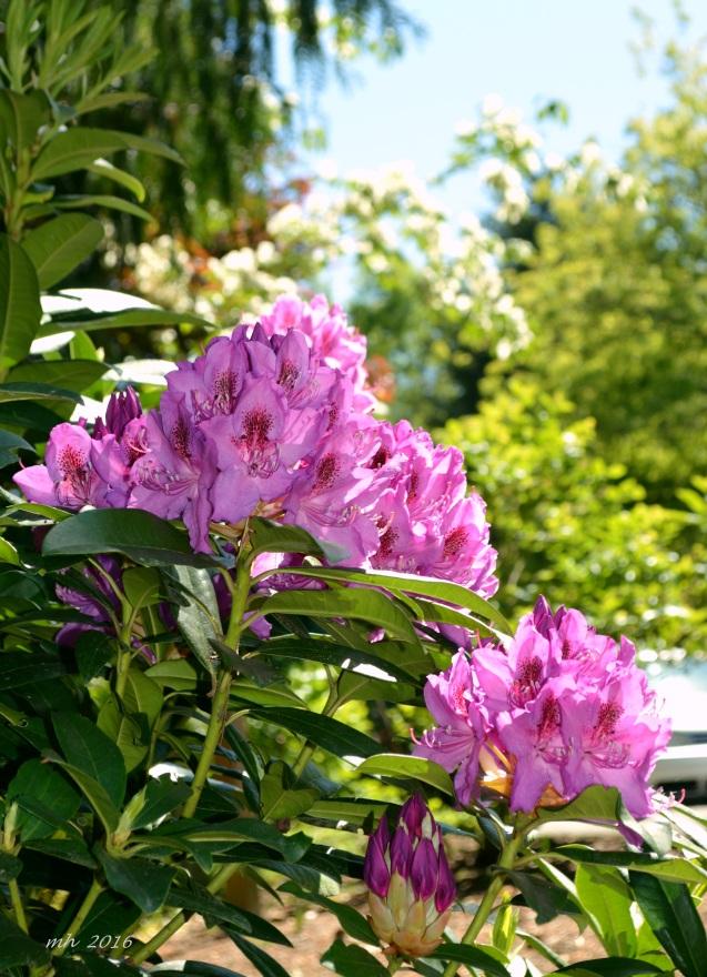 hoa do quyen 2016  (6)