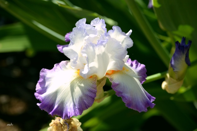 Iris 'Queen of Angels'  (1)