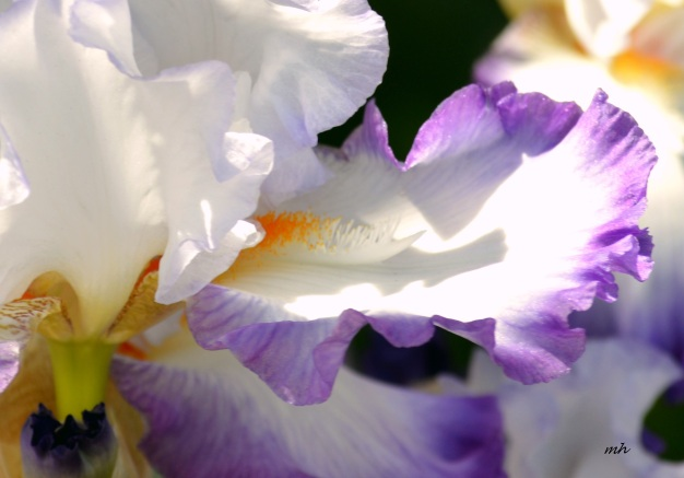 Iris 'Queen of Angels'  (6)