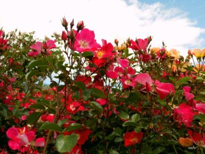 Landcape Rose jpg (1)