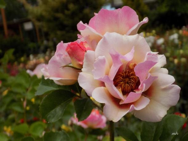 Lemonade Rose