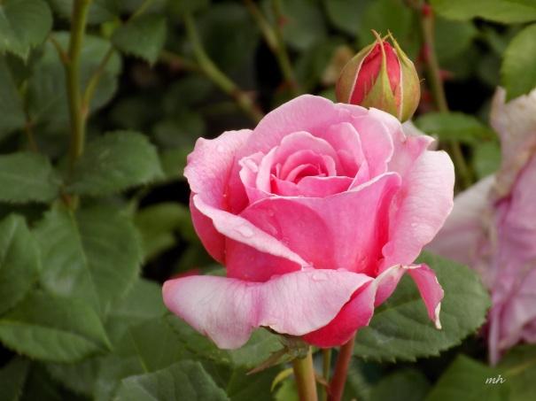 Mini Roses (1)
