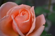 over-the-moon-rose-2016-31