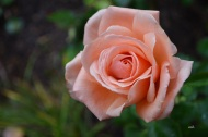 over-the-moon-rose-2016-34