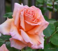 Over the Moon rose 2017 .- sm 3-