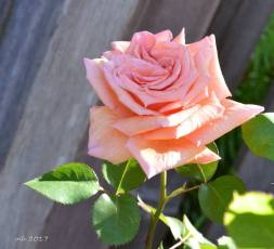 Over the Moon rose 2017 .- sm2 -