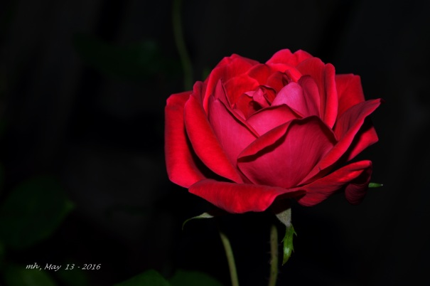 Red Rose 2016 (1a)