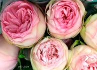 English Garden roses.png