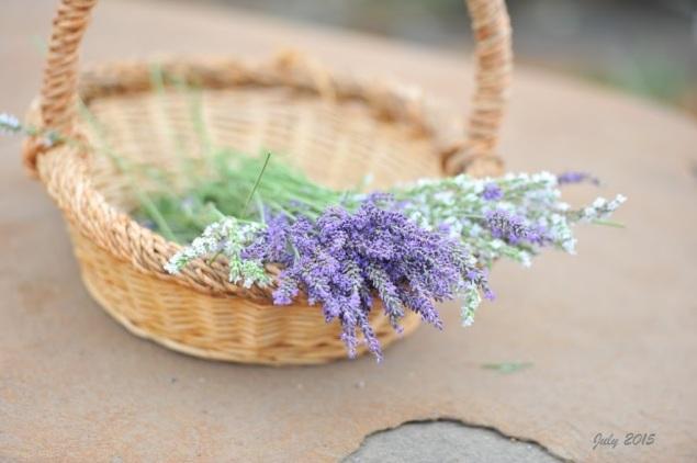 Helvetia Lavender Farm 2015