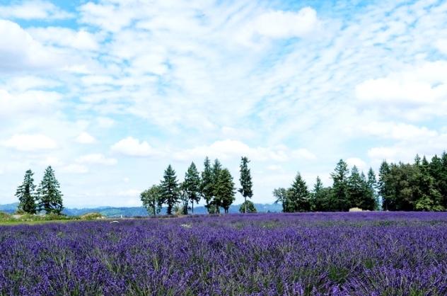 Lavender 2015 (7)