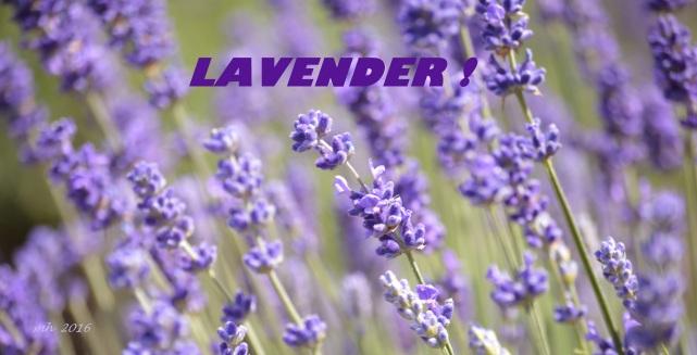 Lavender 2016 -2
