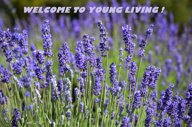 Lavender 2016-4