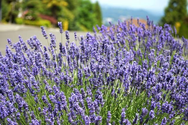 Lavender 2016-7