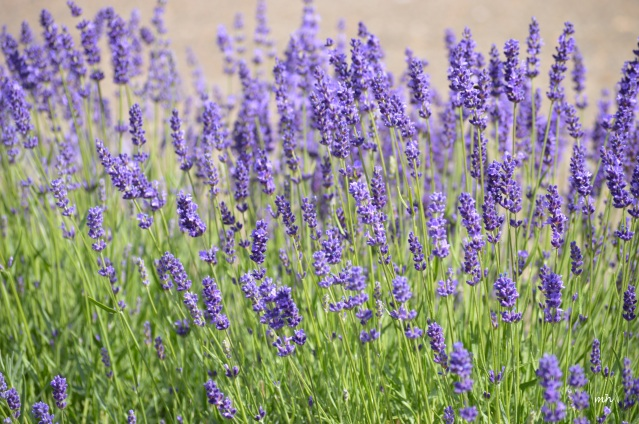 Lavender 2016